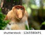Portrait Of A Male Proboscis...