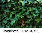 wild grape green wall | Shutterstock . vector #1265631511