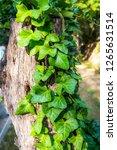wild grape green wall | Shutterstock . vector #1265631514