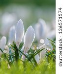 White Spring Crocus With Water...