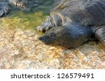 Small photo of Trionyx triunguis. An African Softshell Turtle emerges from the waters of Alexander Stream (Nahal Alexander)