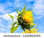 field of blooming sunflowers... | Shutterstock . vector #1265802454