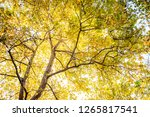 beautiful yellow mable leaf. | Shutterstock . vector #1265817541