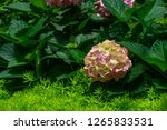 beautiful blue hydrangea or... | Shutterstock . vector #1265833531