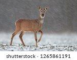 roe deer  capreolus capreolus ...   Shutterstock . vector #1265861191