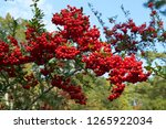 Red Seeds Of Pyracantha...