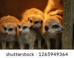 four furry animals looking... | Shutterstock . vector #1265949364