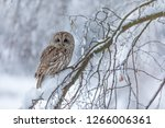 Stock photo tawny owl in snow winter scene with owl attractive owl portrait in snow fall 1266006361