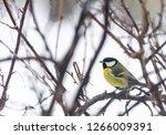 great tit  parus major wild...   Shutterstock . vector #1266009391