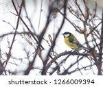 great tit  parus major wild...   Shutterstock . vector #1266009394