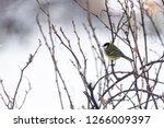 great tit  parus major wild...   Shutterstock . vector #1266009397