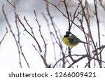 great tit  parus major wild...   Shutterstock . vector #1266009421