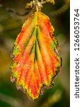 single leaf of a hamamelis in...   Shutterstock . vector #1266053764