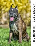 german boxer with cropped ears... | Shutterstock . vector #1266132007