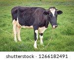 cow portrait full length in a... | Shutterstock . vector #1266182491