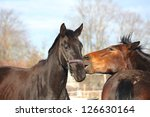 brown and black horses nuzzling ... | Shutterstock . vector #126630164