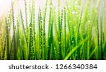 young green grass with dew in... | Shutterstock . vector #1266340384