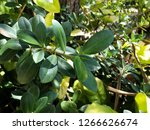 fresh leaves in the garden with ... | Shutterstock . vector #1266626674