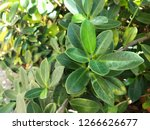 fresh leaves in the garden with ... | Shutterstock . vector #1266626677