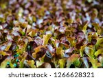 red lettuce seedlings. little... | Shutterstock . vector #1266628321