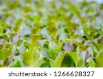 lettuce seedlings. little... | Shutterstock . vector #1266628327