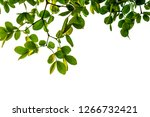 Isolated Green Tree Leaf On...