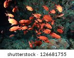 Whiteedged soldierfish (Myripristis murdjan) in the coral reef - stock photo