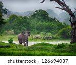Elephant In The Wild . Rainy...