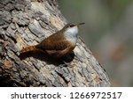Canyon Wren Perched On A Tree...