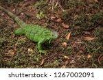 juvenile green iguana...   Shutterstock . vector #1267002091