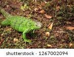 juvenile green iguana...   Shutterstock . vector #1267002094