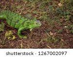 juvenile green iguana...   Shutterstock . vector #1267002097