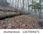 colorful forest  nature... | Shutterstock . vector #1267004671