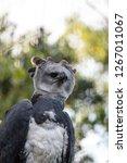 harpy eagle harpia harpyja...   Shutterstock . vector #1267011067