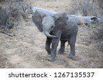 Stock photo cute african bush elephant baby in kruger national park south africa 1267135537