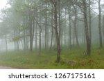 Pine Forest Mist In  Phu Rua...