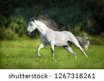 White Andalusian Horse Runs...