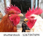 White And Red Roosters On The...
