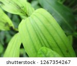 leaves   foliage and green... | Shutterstock . vector #1267354267