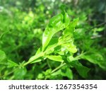 leaves   foliage and green... | Shutterstock . vector #1267354354
