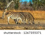 three adult zebras lined up... | Shutterstock . vector #1267355371