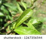 leaves   foliage and green... | Shutterstock . vector #1267356544