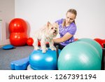 Stock photo dog training in the fitness club 1267391194