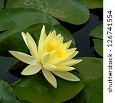 Water Lily In Lotus Museum ...