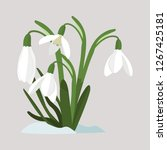 Spring Flowers. Snowdrops...