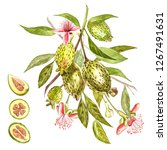 watercolor illustration feijoa... | Shutterstock . vector #1267491631