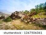 a lam in the mountains.... | Shutterstock . vector #1267506361
