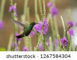 rufous tailed hummingbird...   Shutterstock . vector #1267584304