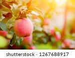 pink ripe apples in the garden... | Shutterstock . vector #1267688917