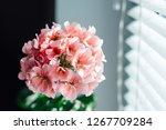 Pink Geranium Flowers. Sunligh...